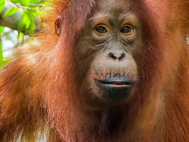An orangutans sits in a tree amongst green leaves and branches.