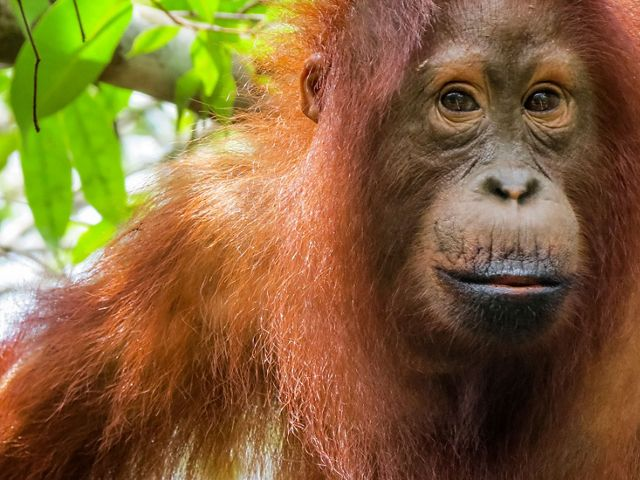 Orangutans rely on healthy forests for their survival.