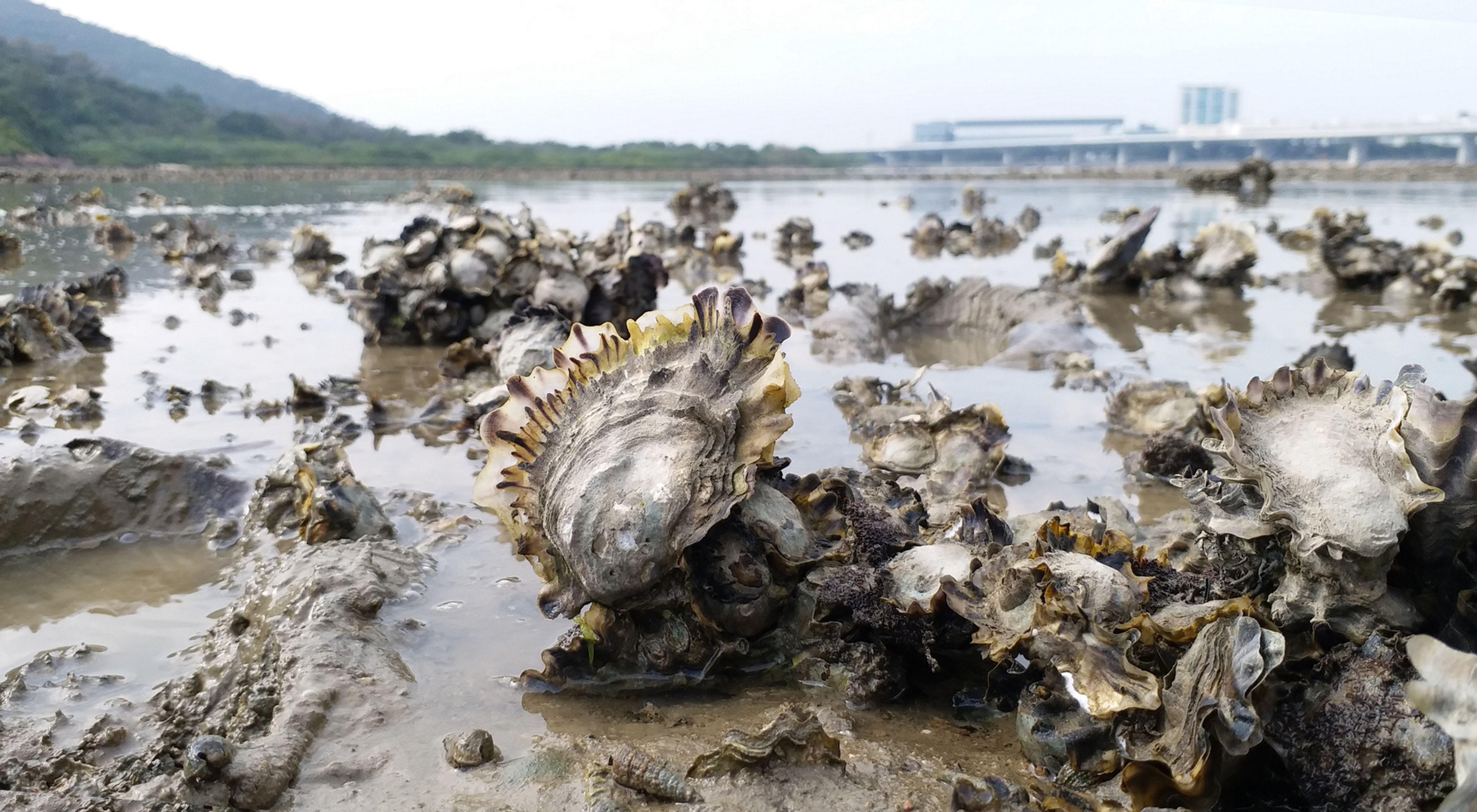 A close up of shellfish reef in Hong Kong.