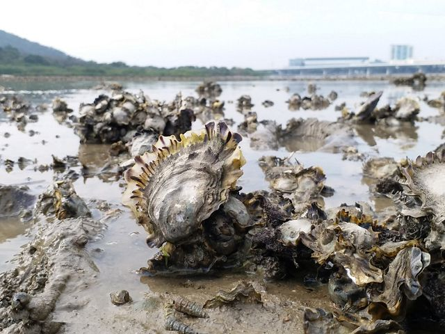 Close up of oysters exposed by receding tide.
