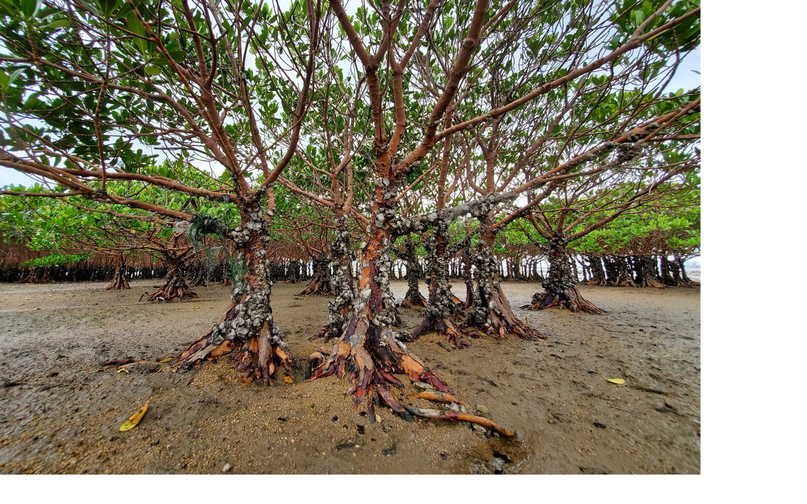 A group of mangroves at low tide with their roots exposed.