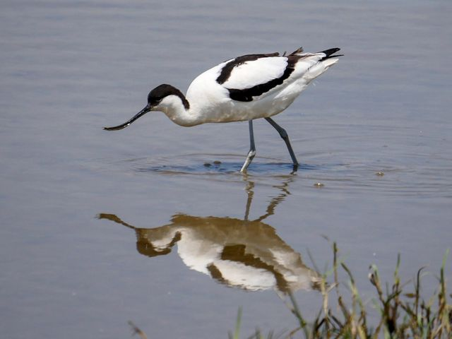 A Pied Avocet bird with a long, curved bill stands in water.