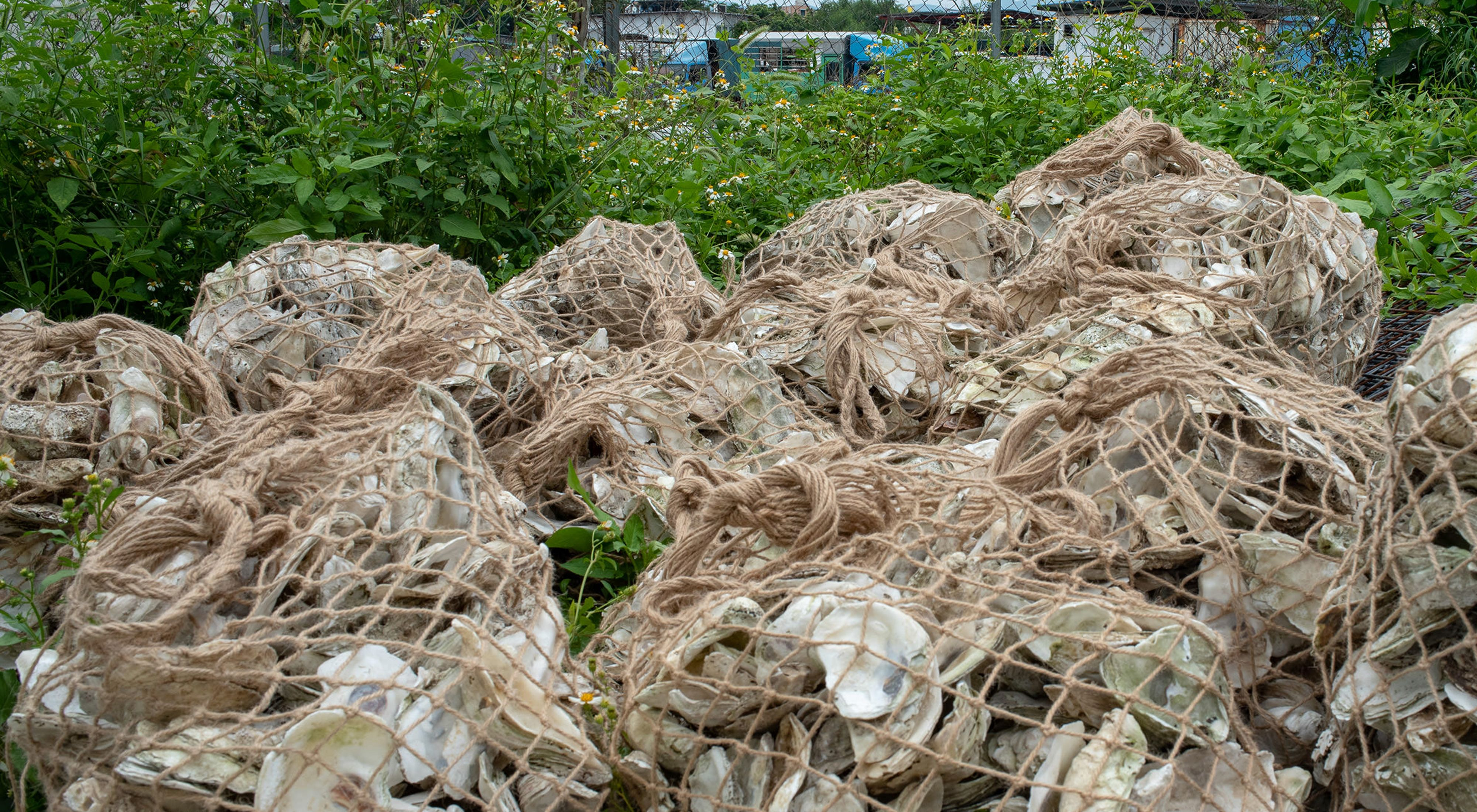 can be recycled and used to form new oyster reefs.