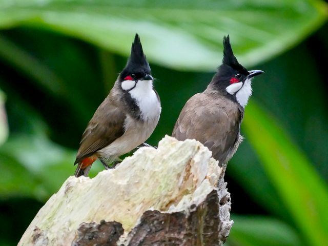 Two red-whiskered bulbul birds are sitting on a branch.