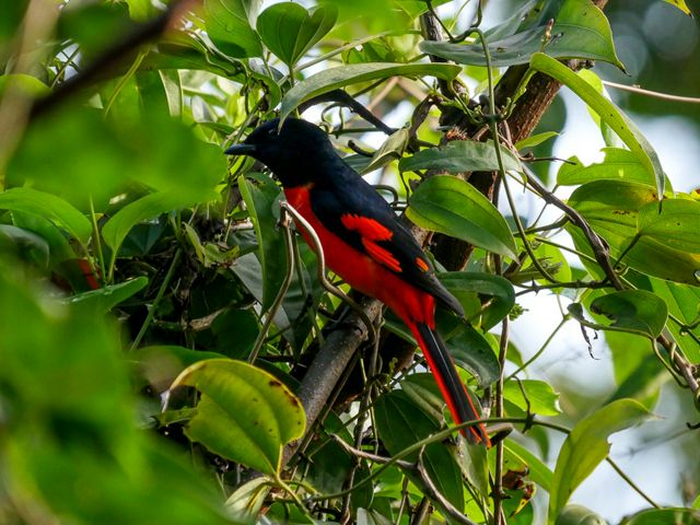 A red and black scarlet minivet bird is hiding in a tree.