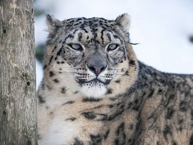 Snow leopards are so difficult to track that TNC and partners use camera traps.