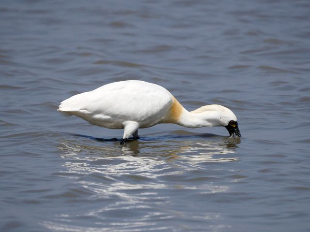 A Black-faced spoonbill bird stands in water with its bill under water.