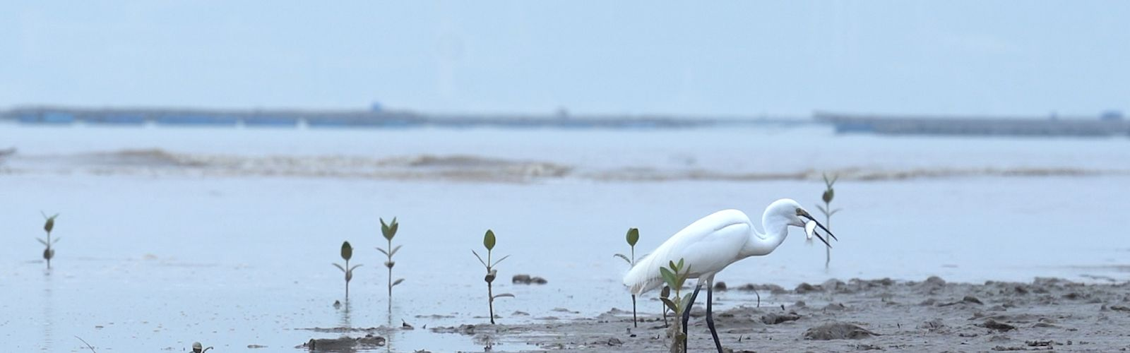 A white sea bird stands on the mudflat with a fish in its mouth.