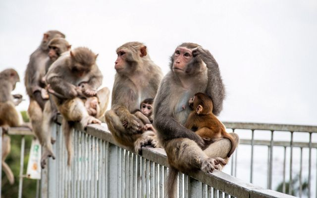 A group of wild monkeys are holding their babies while sitting on a railing.