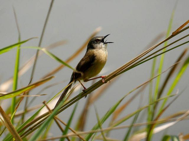A Yellow-Bellied Prinia bird stands on a blade of grass and is calling out.