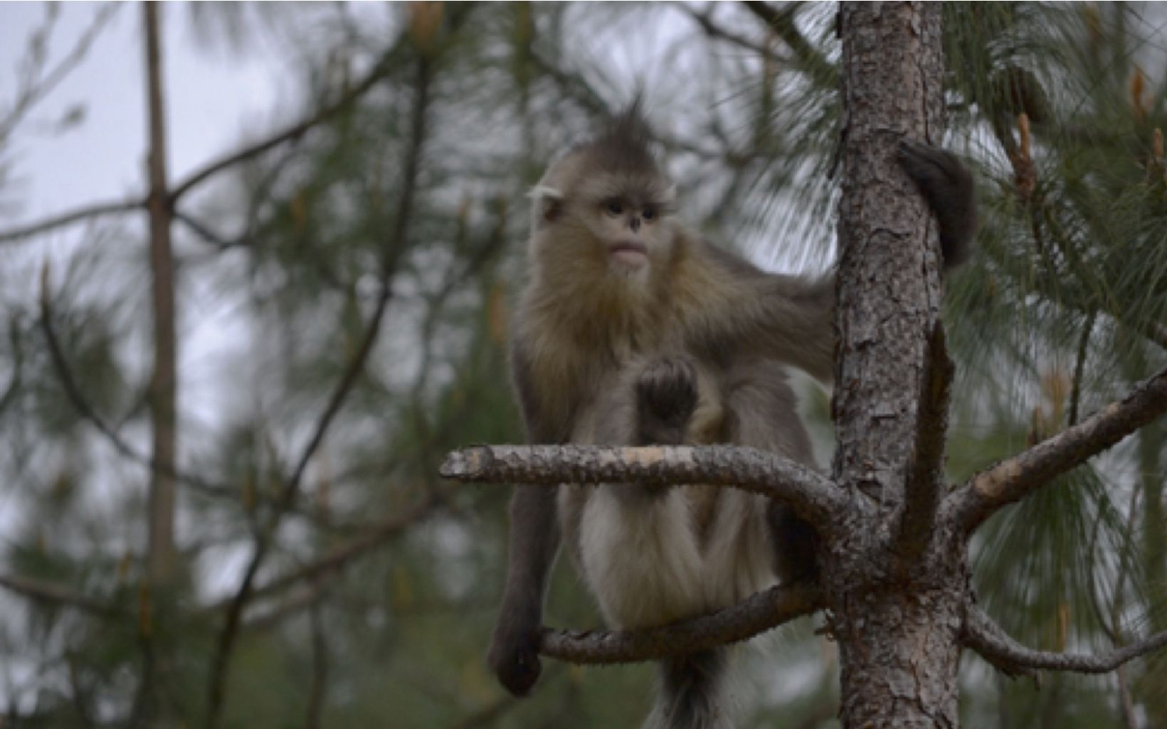 A Yunnan Golden Monkey