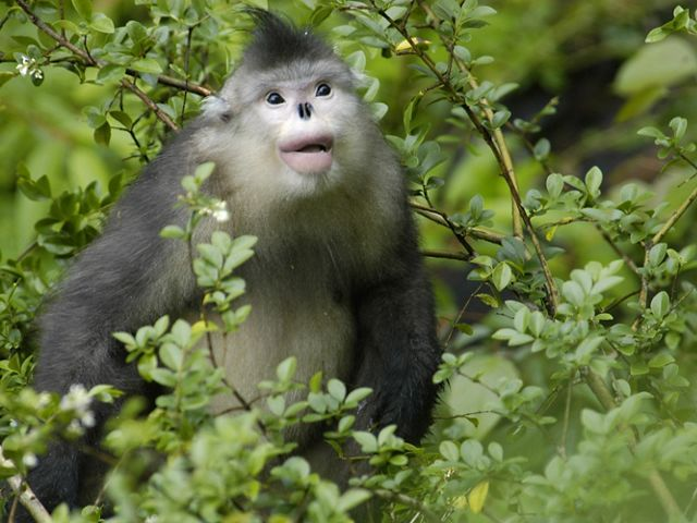 There are fewer than 2,000 Yunnan golden (snub-nosed) monkeys (Rhinopithecus bieti) left in Yunnan's old-growth alpine forests.