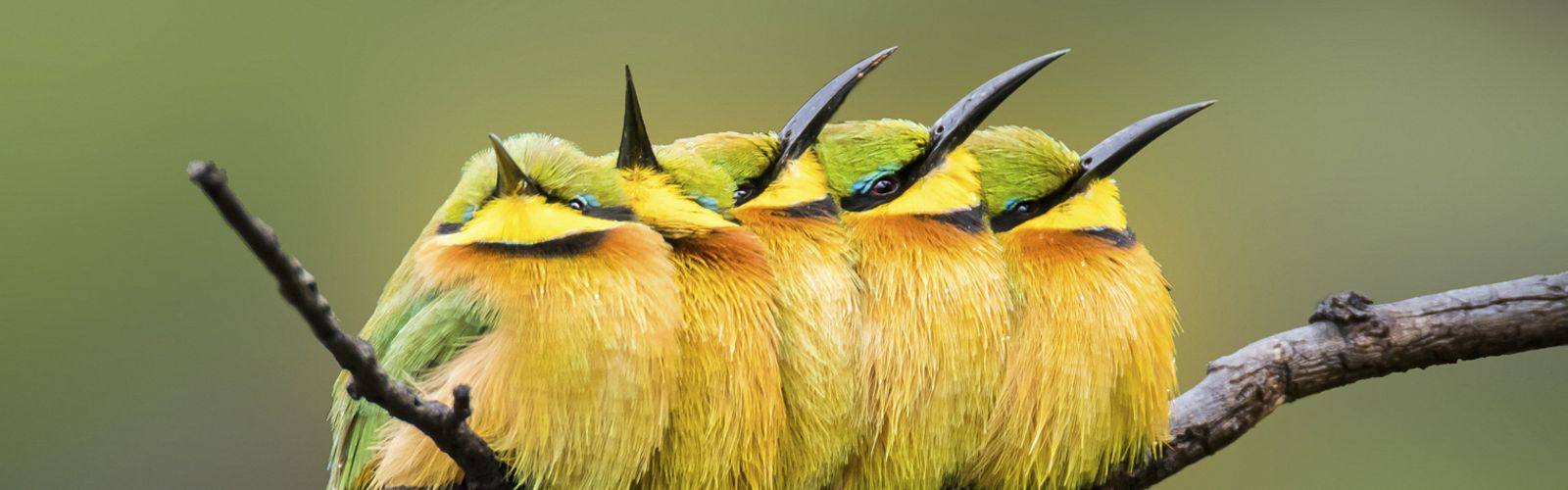 Little bee-eaters on a rainy winter's day in Pilanesberg National Park.