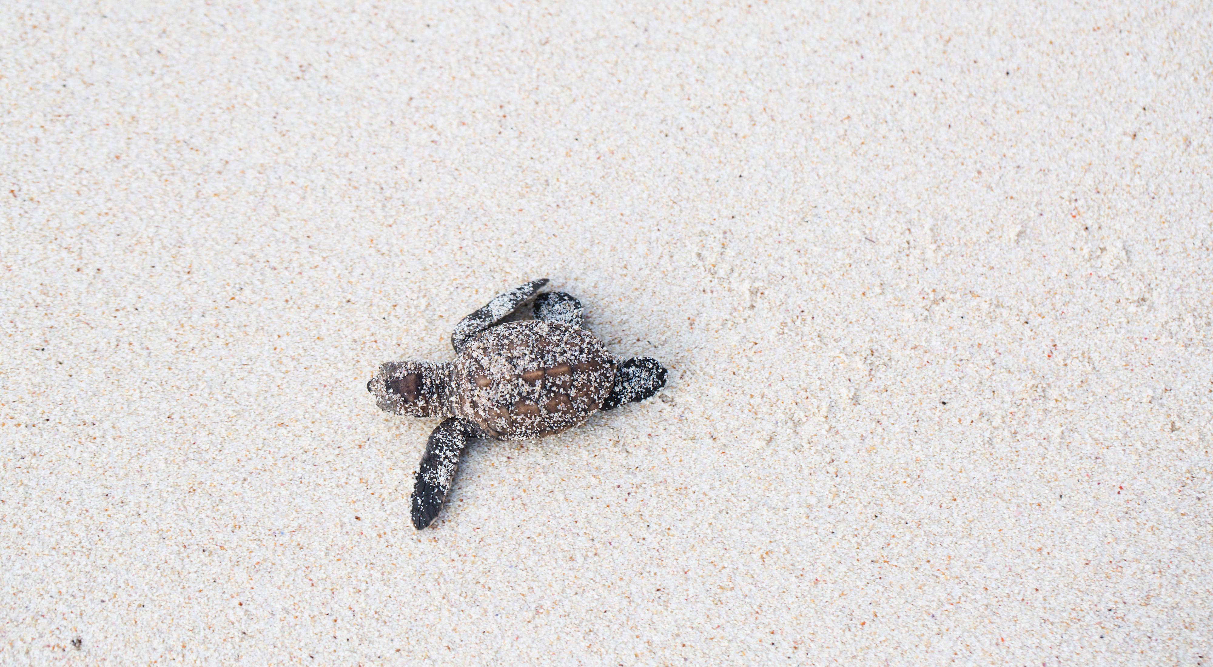 剛剛孵化出來的玳瑁海龜
