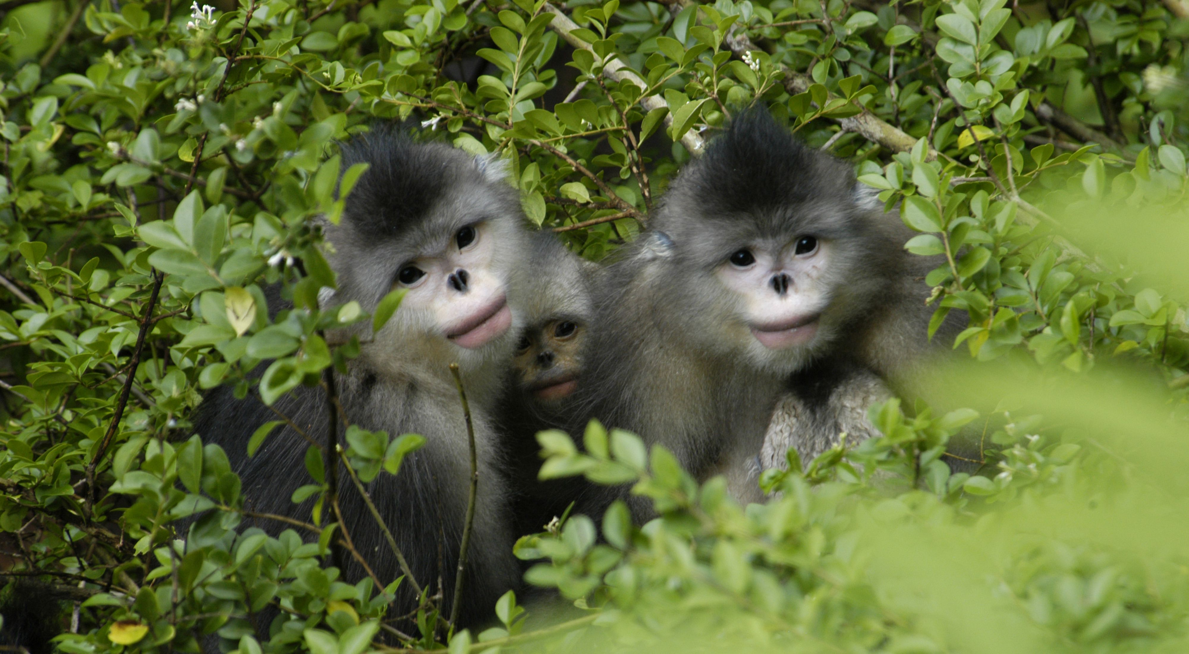 3 small black and white monkeys with flat noses peer out of green shrubbery