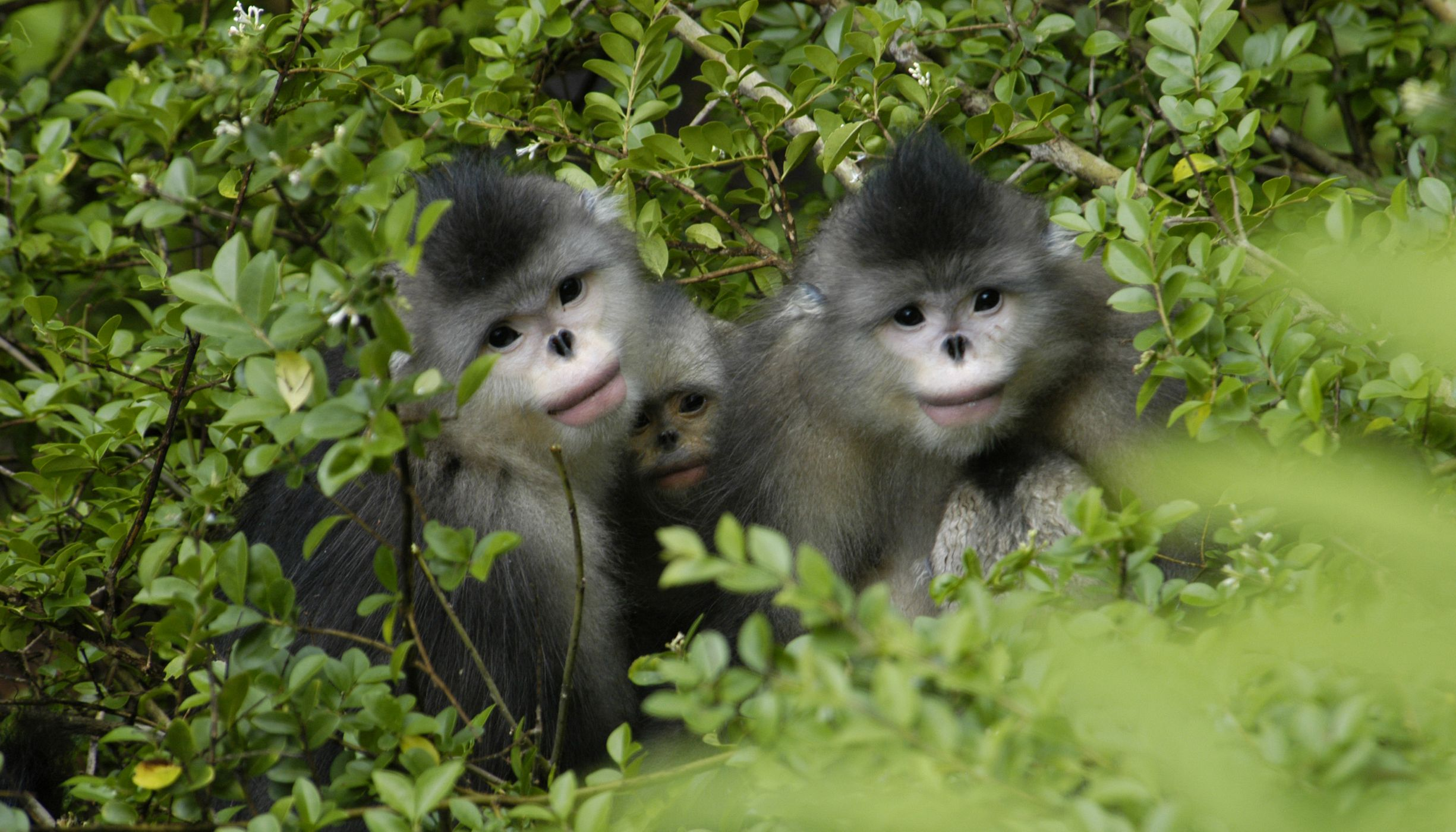 Yunnan Golden Monkeys