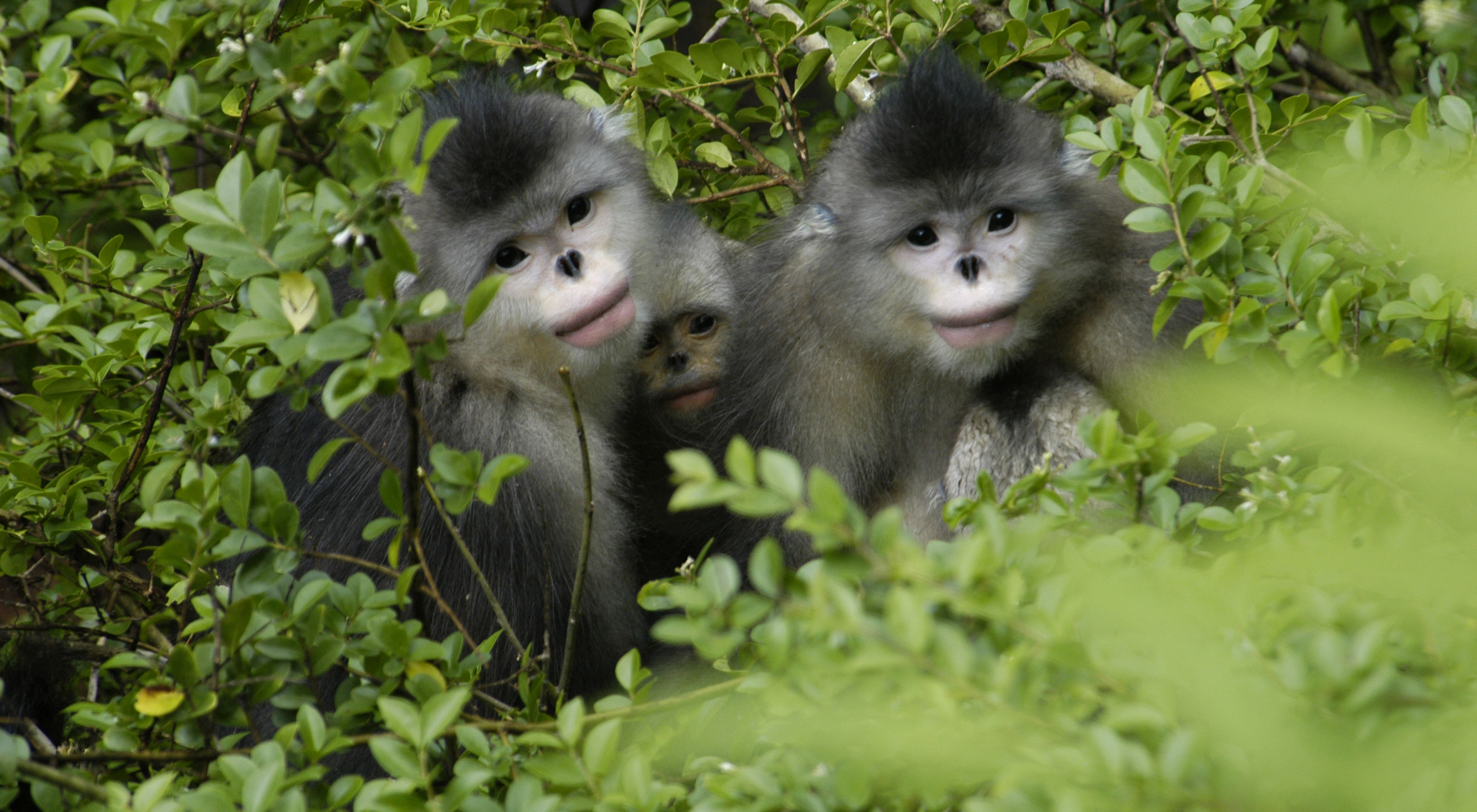 are considered one of the most endangered primates on Earth.