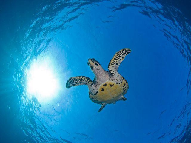 牠們是所羅門群島的Arnavon Islands 的受保護物種。