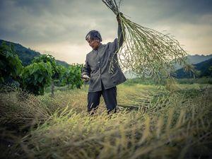 Farmer harvesting crops