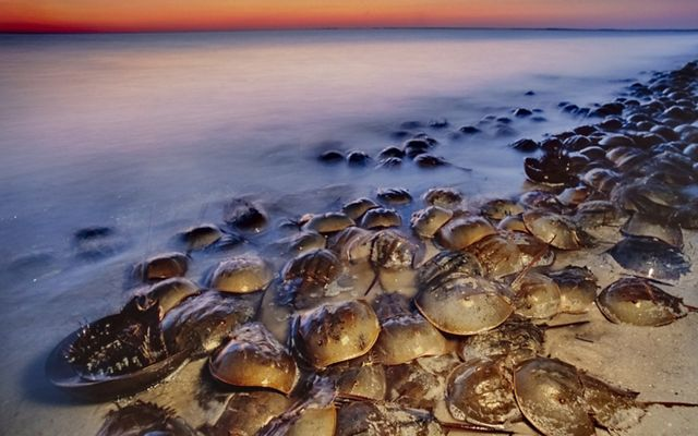 A large group of horseshoe crabs piled on top of each other all along the shore of a beach.