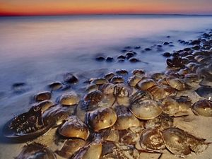 Horseshoe crabs are living fossils meaning they have existed nearly unchanged for at least 445 million years, well before even dinosaurs existed.