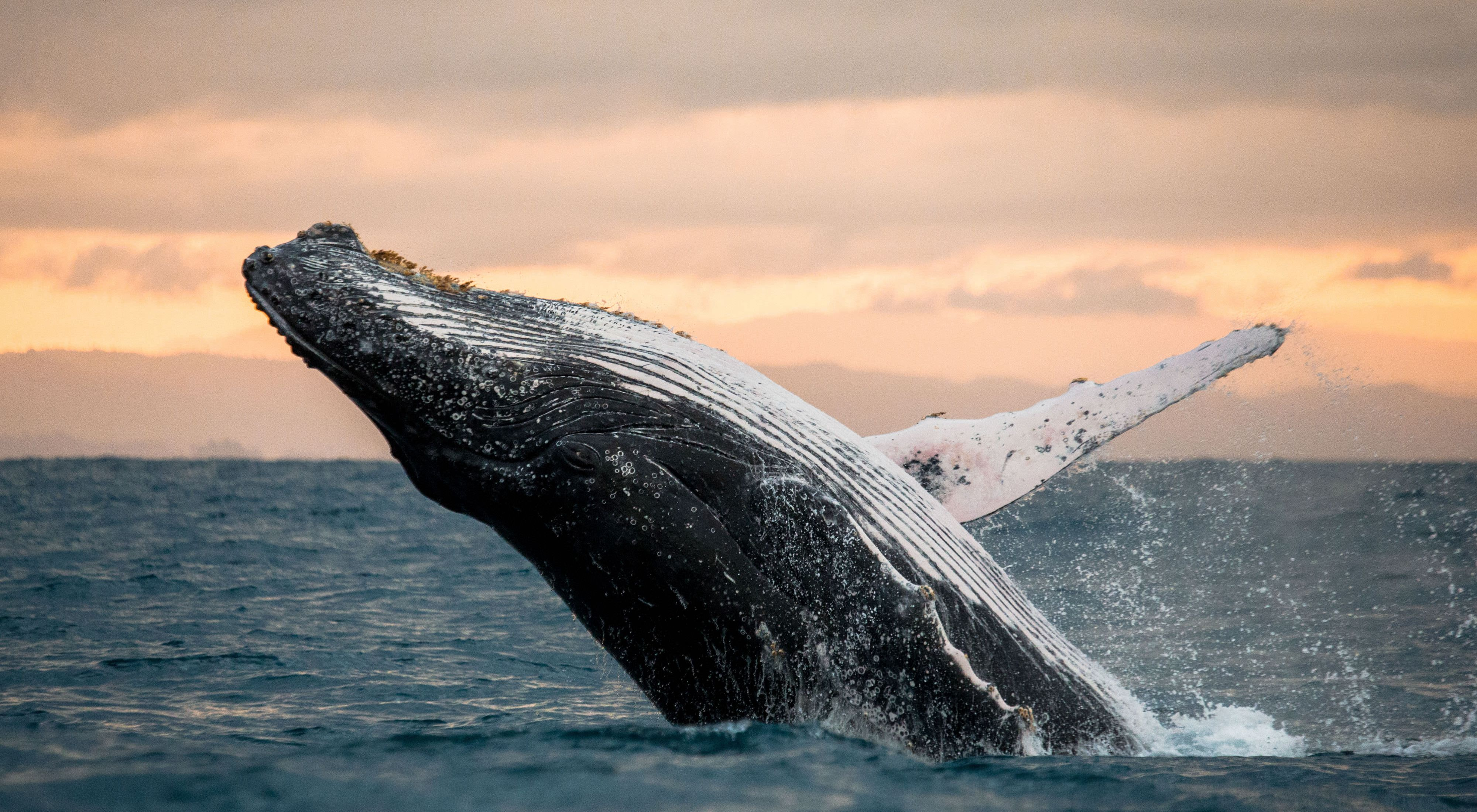 A humpback whale breaching off the California coast.