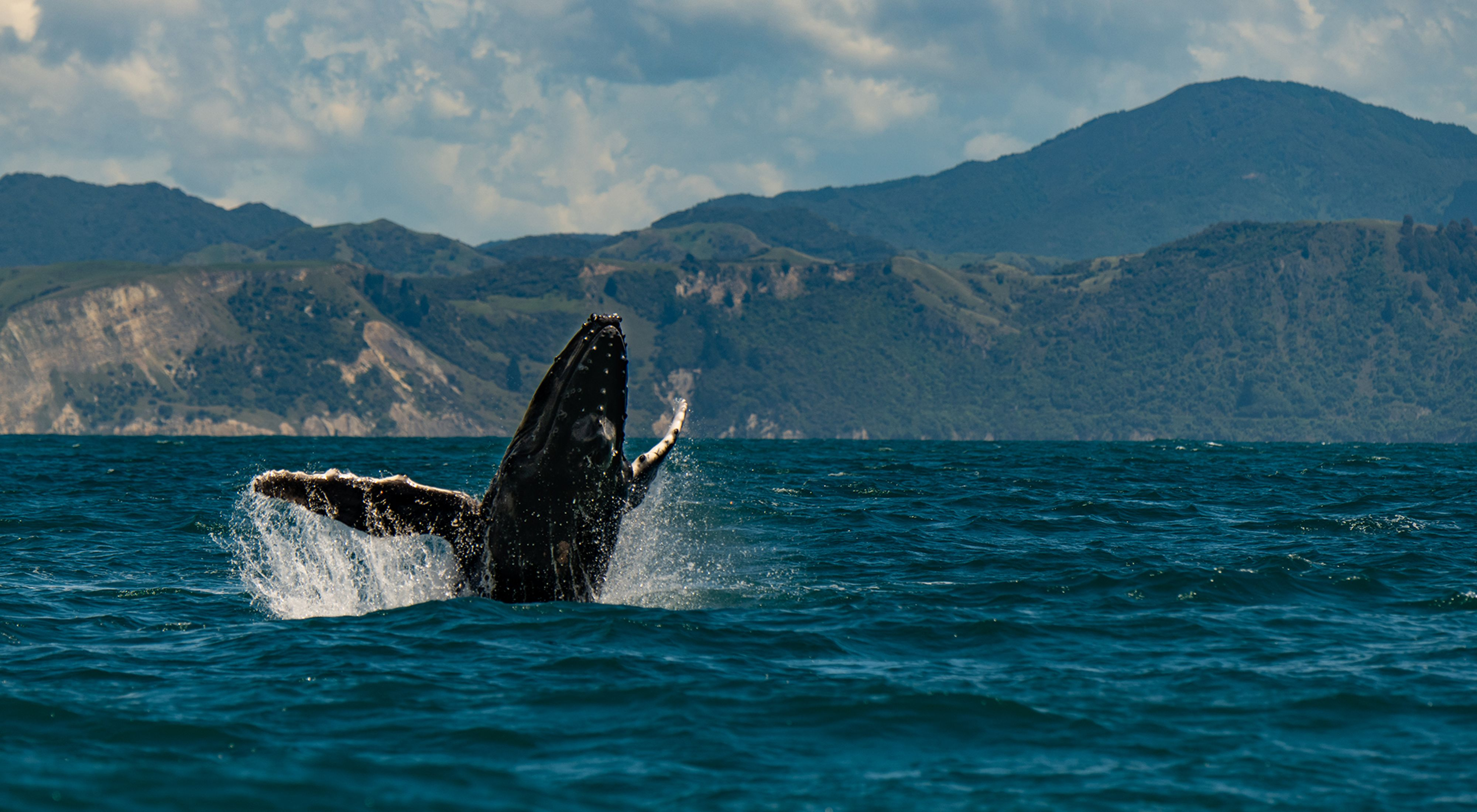 A humpback whale breaching off the coast of Kaikoura, New Zealand.