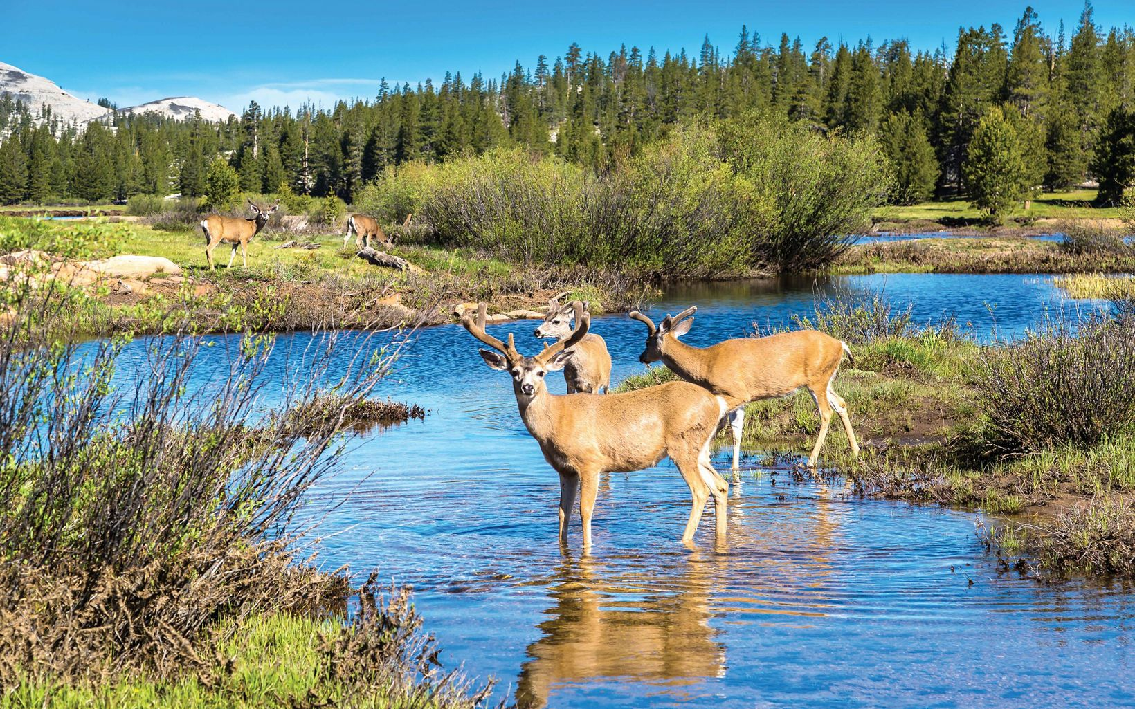 Two adult brown deer wade in a stream close to the bank, with 2 more deer in the background on land. Conifers and mountains are in the background.