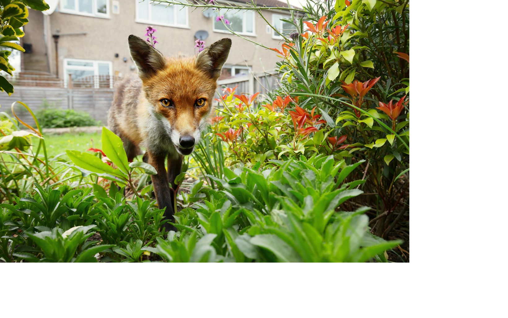 A red fox explores a garden in a suburb of London.