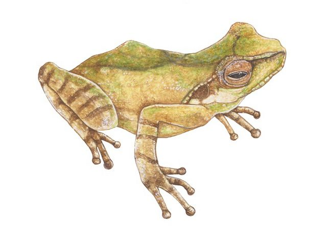 Bush frog illustration