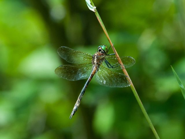 A Hine's emerald dragonfly with bright green eyes clings to the side of a grass-like plant
