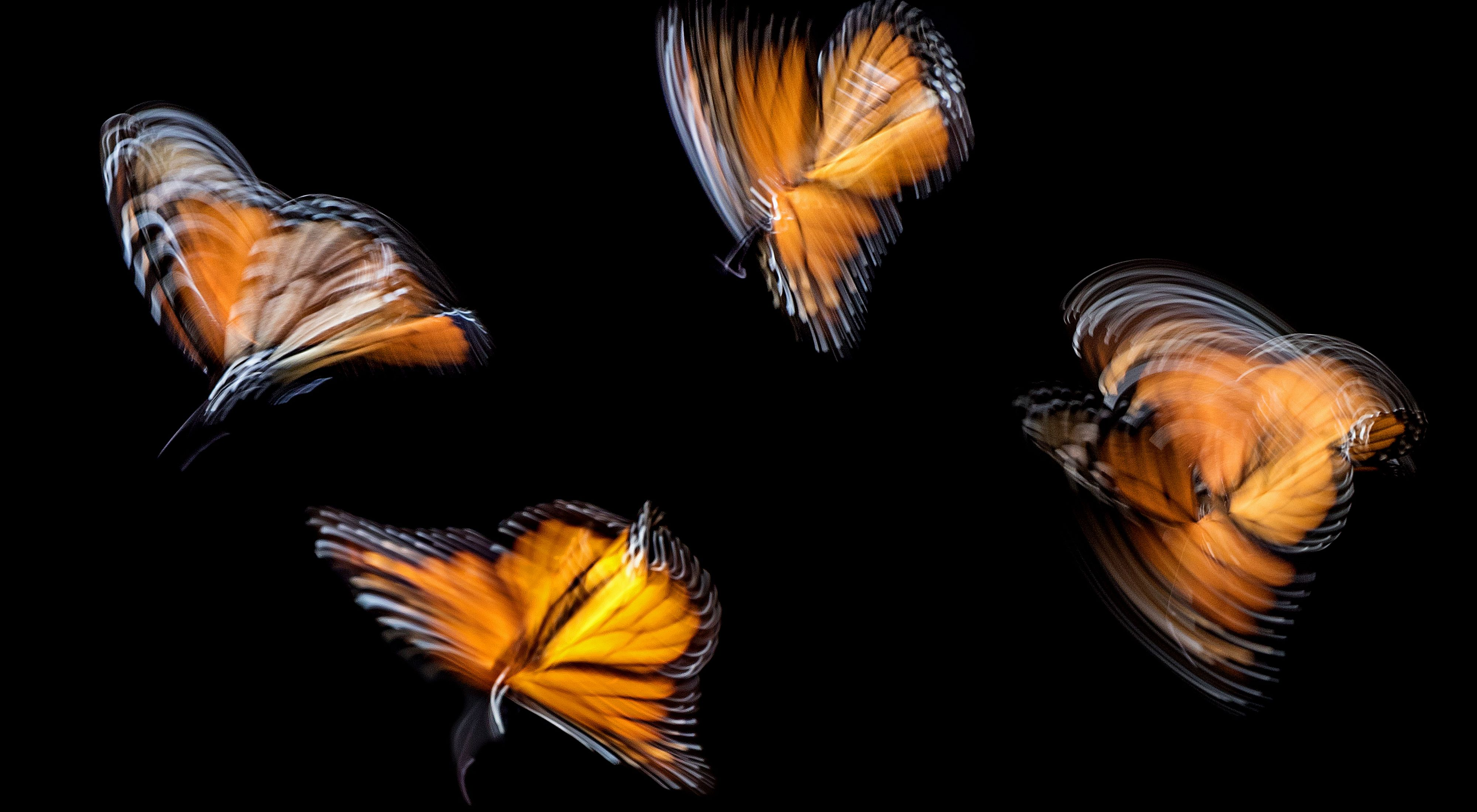 Monarchs in motion captured in Pismo Beach, California, USA