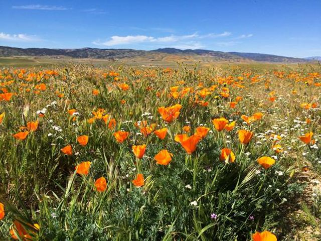 Poppy field in Antelope Valley.