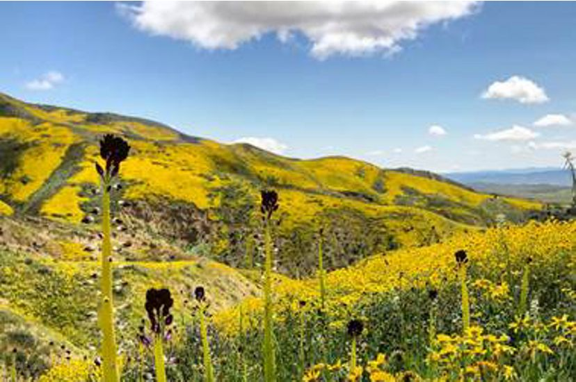 Gentle hills covered in yellow wildflowers.