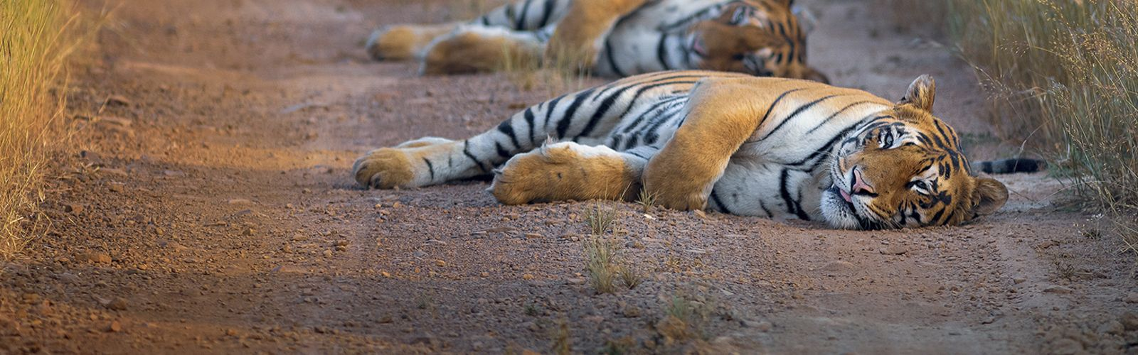 Two young adult tiger cubs rest in the early morning light at Tadoba Andhari Tiger Reserve, India.