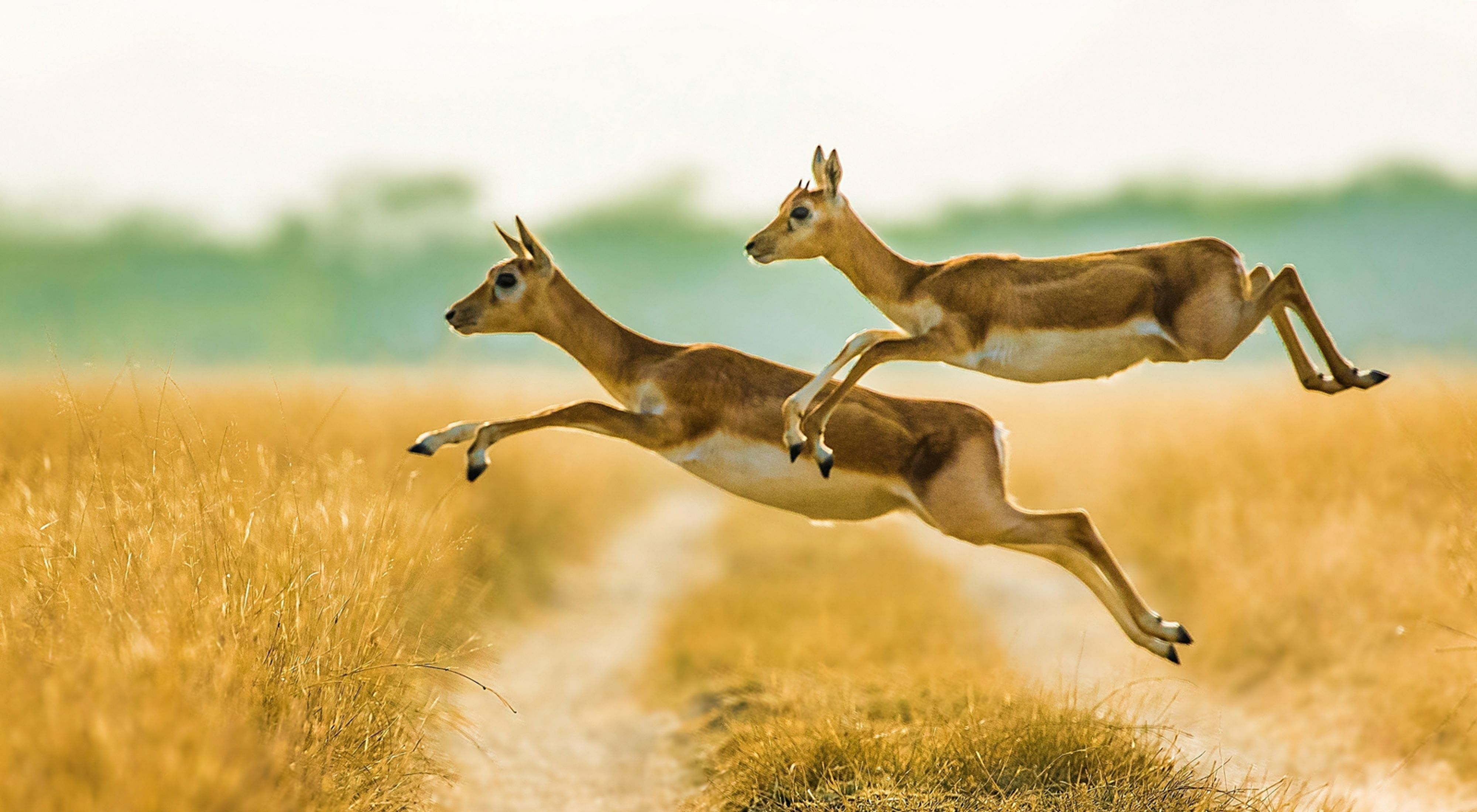 Blackbuck jumping over the muddy trail of the grassland in Talchapar, Rajasthan, India.