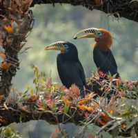 A pair of Rufous-necked Hornbills photographed near Mahananda Wildlife Sanctuary in West Bengal, India.