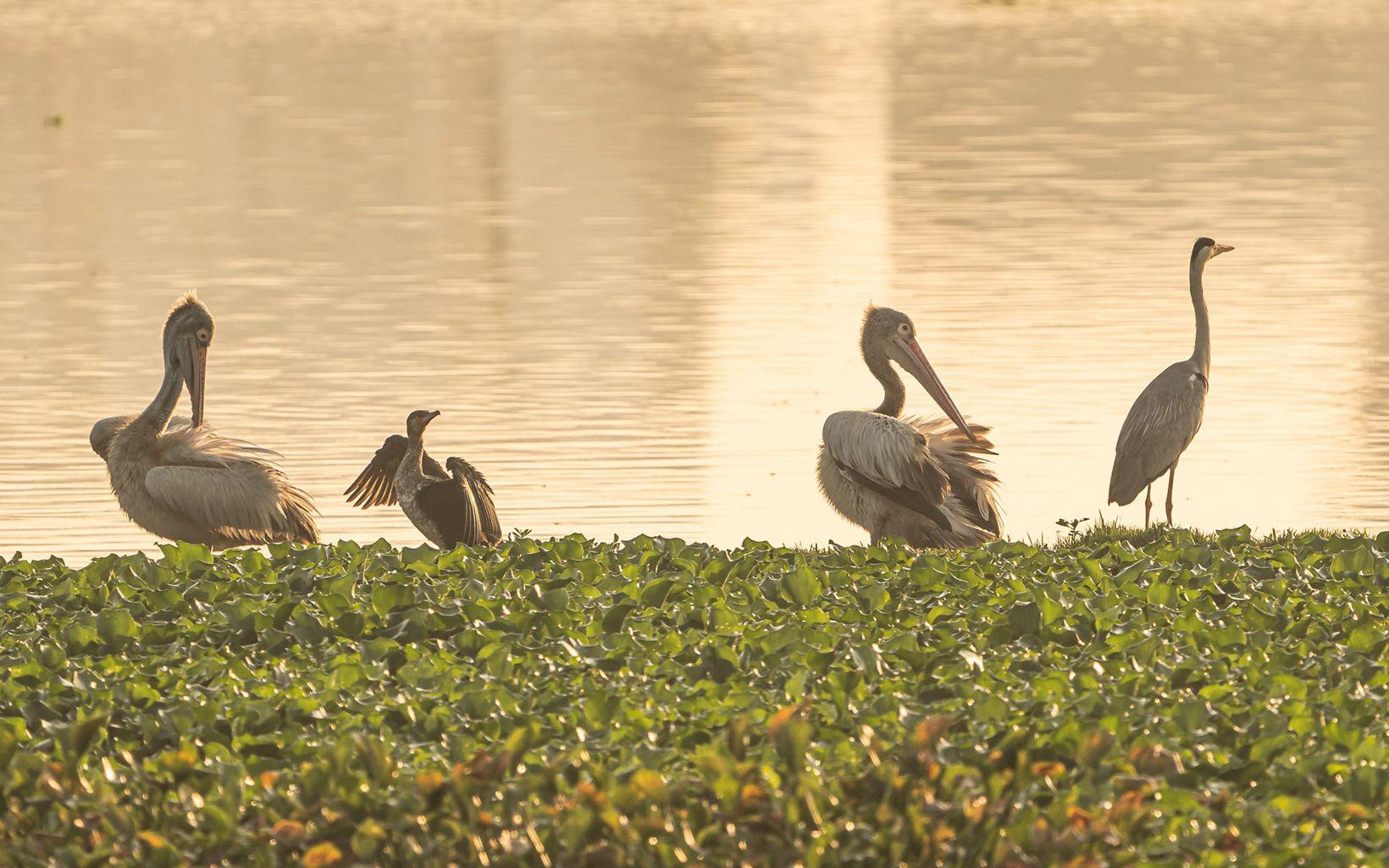 (Spot-billed Pelicans, Little Cormorants & a Grey Heron) enjoying the sunset at Lake Sembakkam