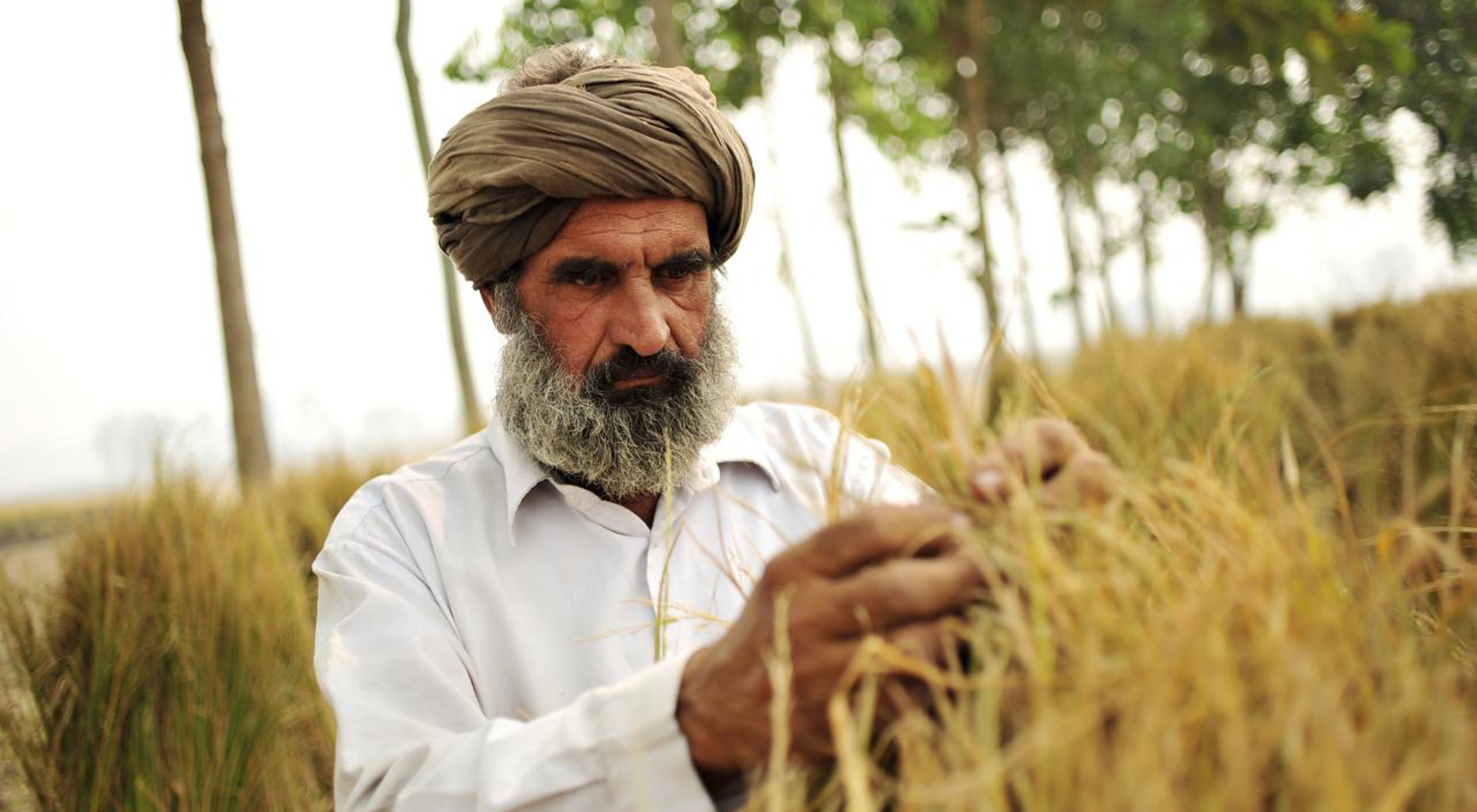 A rice farmer inspects his plants.