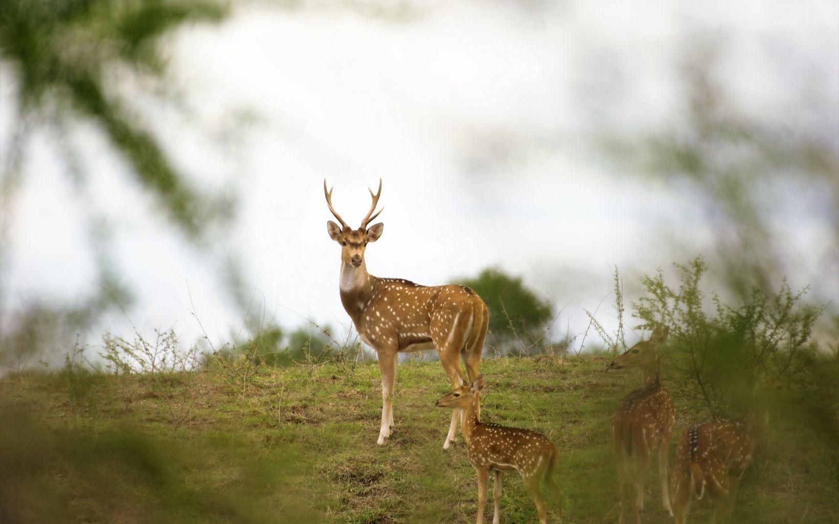 grazing on River Narmada banks