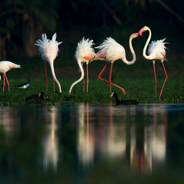 Greater flamingos at a local wetland in the west-central Indian city of Indore.