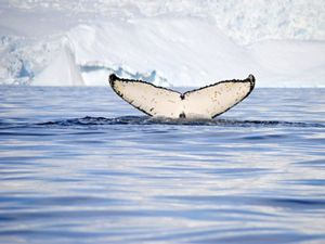 A whale's tale above water in front of an iceberg.