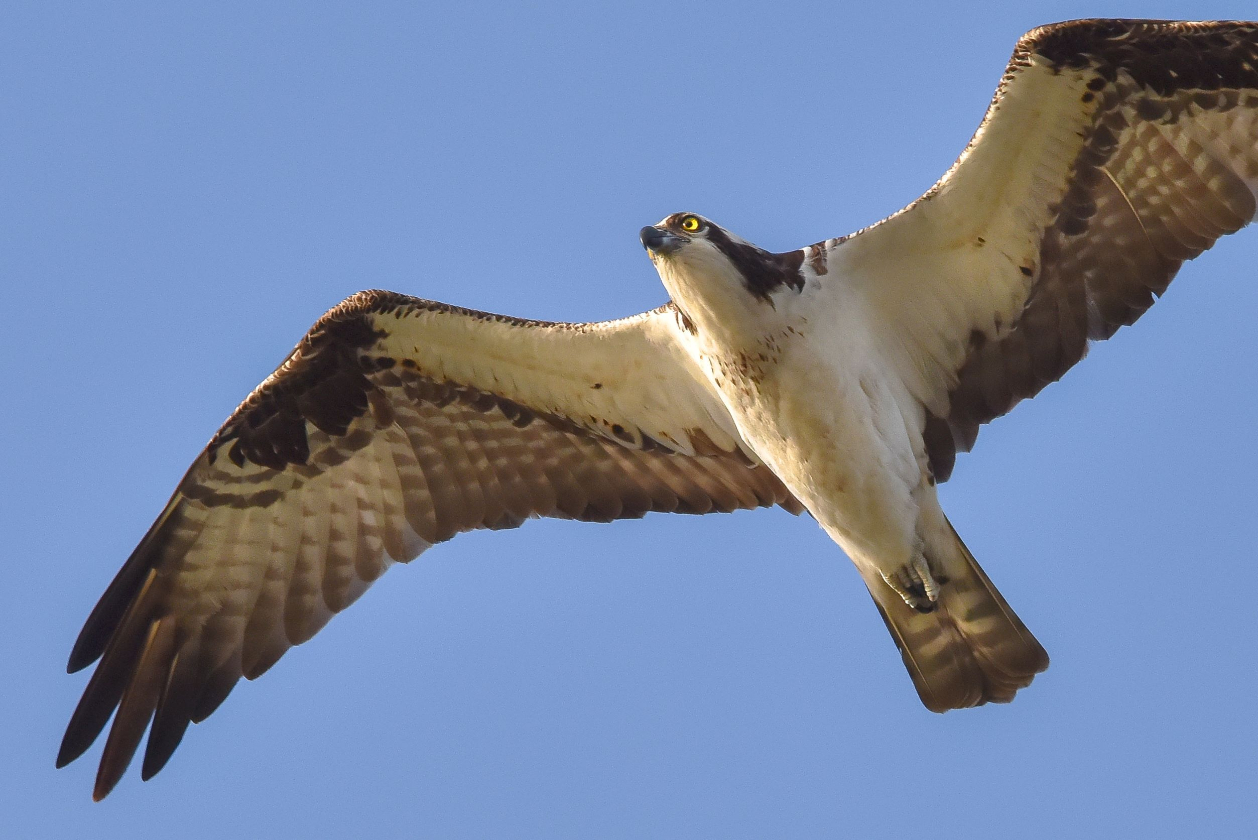 Looking up at a large white and brown raptor soaring overhead, with outstretched wings and a yellow eye.