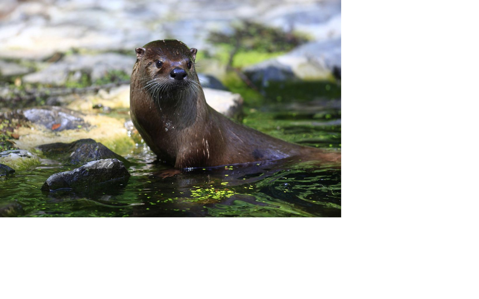 An otter is caught emerging from the river water.