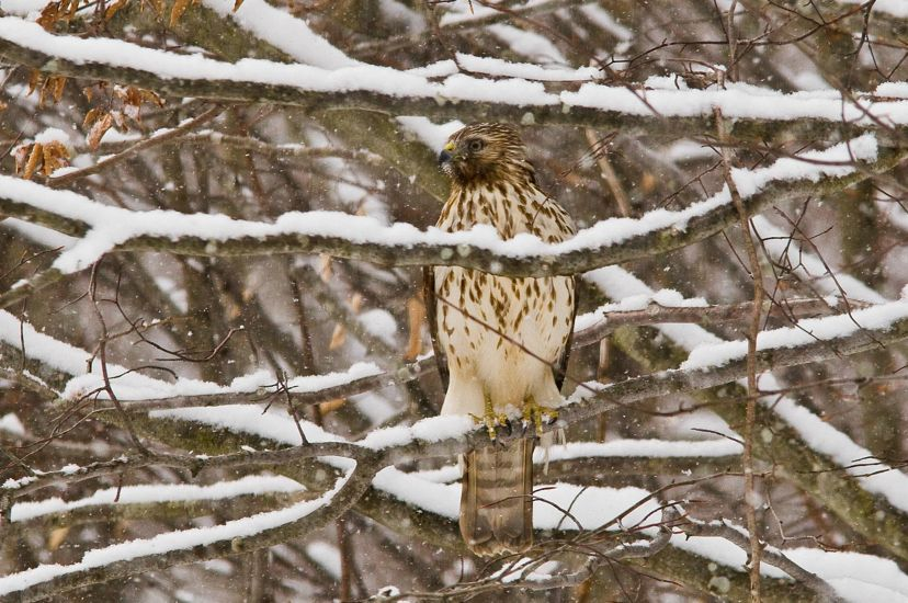 Large raptor with cream-colored breast spotted with brown, sits amid a flurry of snow and snow-covered branches.