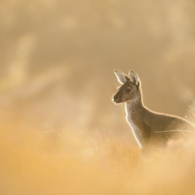 A Western Grey Kangaroo lit up by the morning light on the edges of the Mandurah estuary