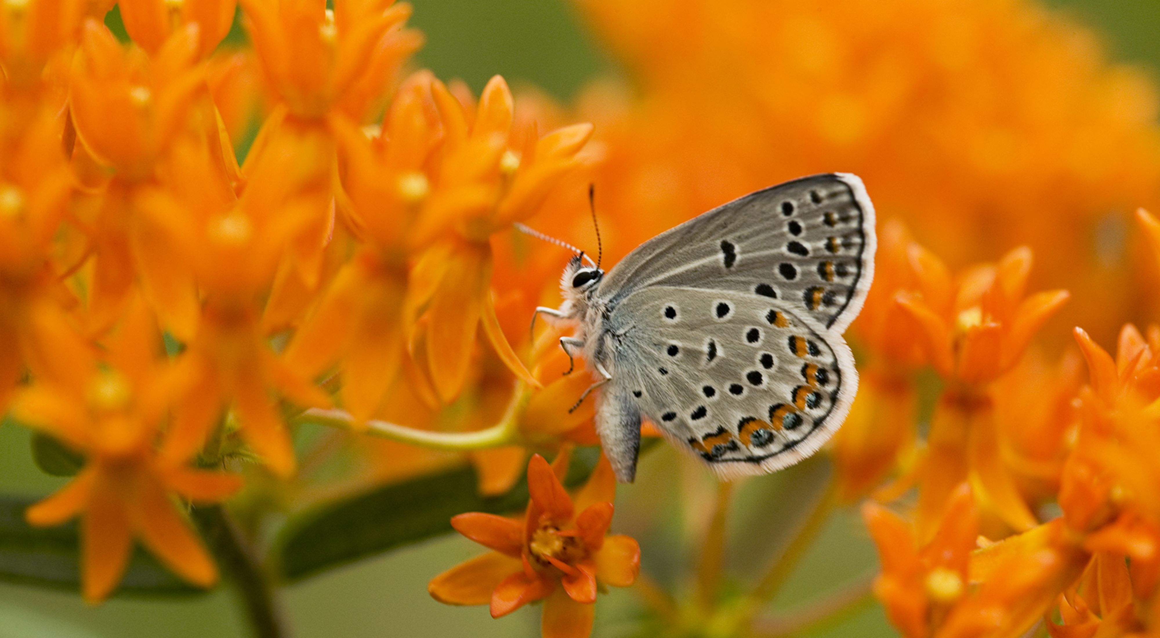 A small blue-gray butterfly with dark spots sits on a cluster of small, bright orange flowers.