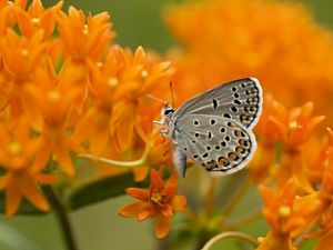 A small blue-gray butterfly with dark spots sits on a cluster of bright orange flowers.
