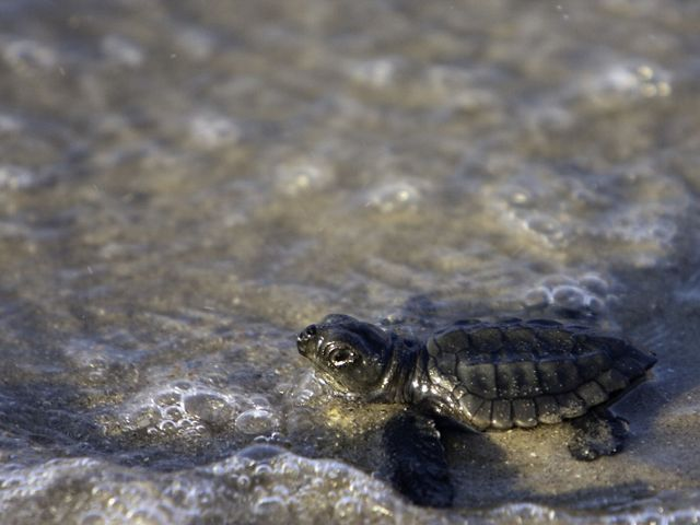 A hatchling makes its way toward the sea