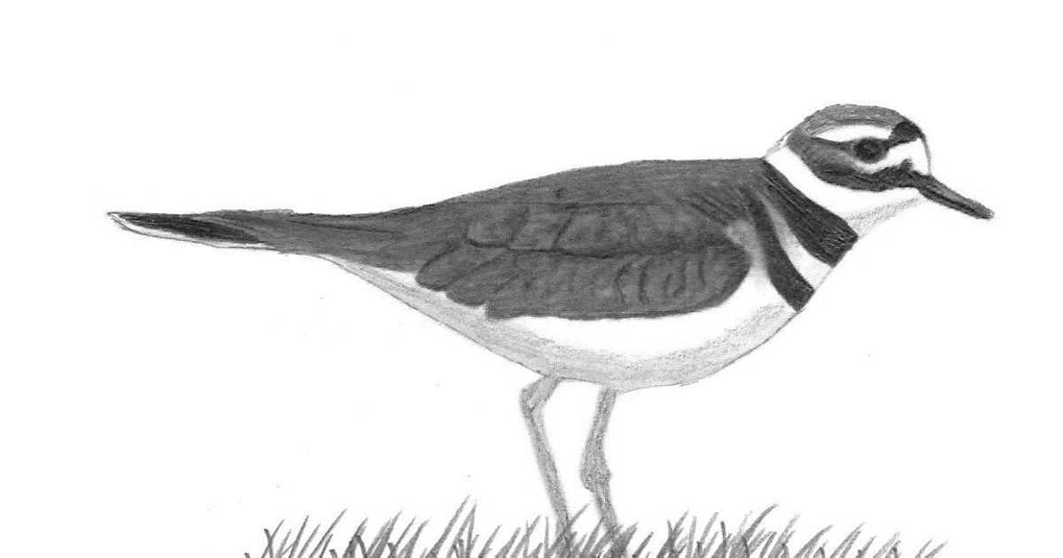 Charcoal drawing of a killdeer